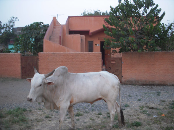 India2010/Nandi-at-Ashram-Home-Shivaratri.jpg